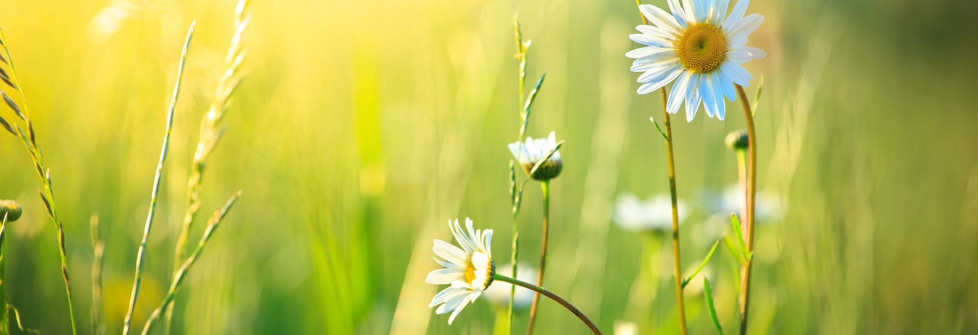 Daisy's in a field